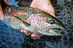 Closeup of Josh's big rainbow From the Gulkana River in Alaska.