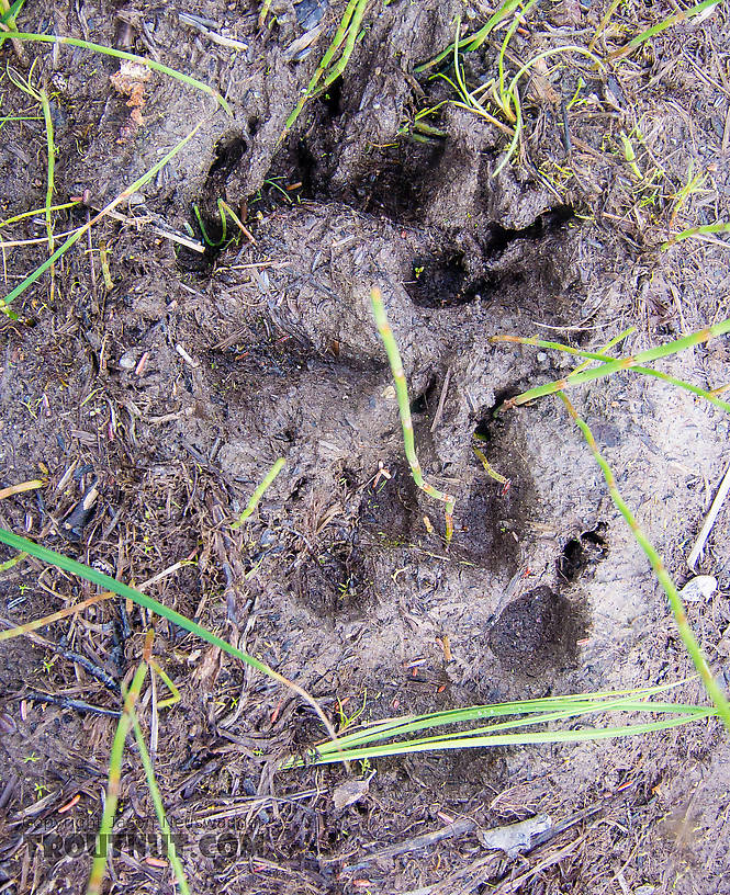 Wolf tracks we found on the trial during the slog out From the Gulkana River in Alaska.
