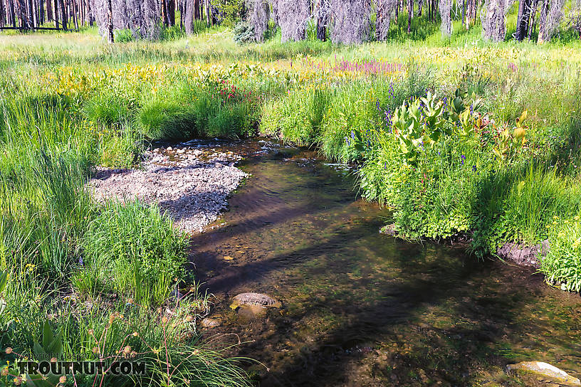 This pool held two pretty westslope cutthroats From Mystery Creek # 199 in Washington.