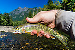 Pretty little coastal cutthroat trout From the Middle Fork Snoqualmie River in Washington.