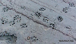 Mountian lion tracks in the mud on a gravel bar From the Middle Fork Snoqualmie River in Washington.