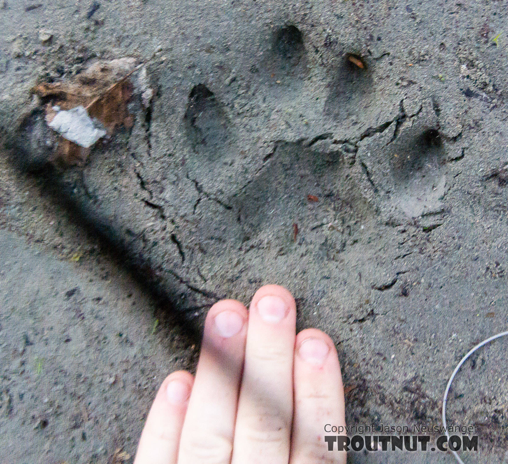 Closeup of a mountain lion track From the Middle Fork Snoqualmie River in Washington.