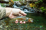 My biggest fish from this tiny creek so far From Mystery Creek # 200 in Washington.