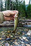 Pretty little coastal cutthroat From the South Fork Snoqualmie River in Washington.