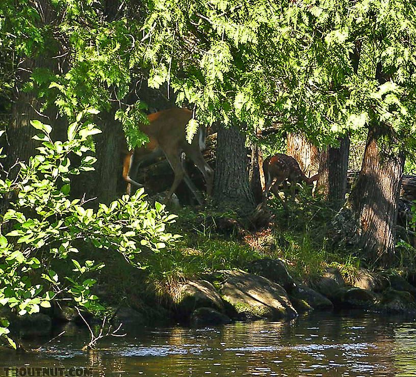 A whitetail doe and her fawn lurk in the shadows, waiting to strike. From the Bois Brule River in Wisconsin.