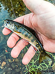 Hard to believe, but I think this was my first brook trout in six years! I had caught every other North American Salvelinus more recently than a brookie. From the South Fork Snoqualmie River in Washington.