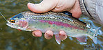 Small rainbow with an exceptionally vivid stripe From the Yakima River in Washington.