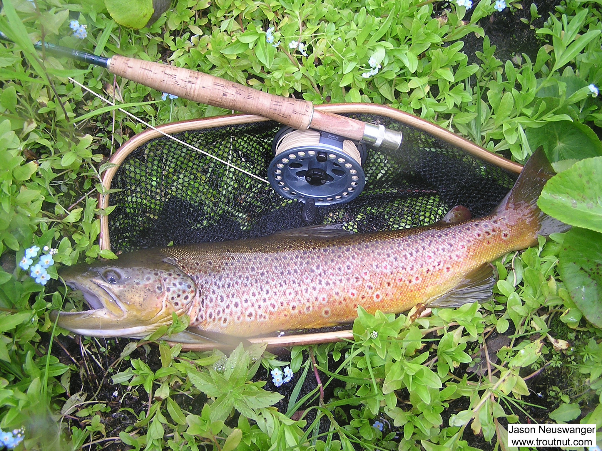 This beautiful 20 inch brown trout took a dry fly placed very tight against some overhanging alders. I was proud of that cast even before the trout smashed my fly. This brown is so vibrantly colored that as I caught glimpses during the fight I began to wonder if it was not a brown, but a monster brook trout.  It turned out to be a very bright red/gold brown trout.  The picture, fine as it is, doesn't do the trout justice. From the Namekagon River in Wisconsin.