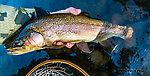 "20"" rainbow caught swinging a sculpzilla through a deep riffle From the Yakima River in Washington."