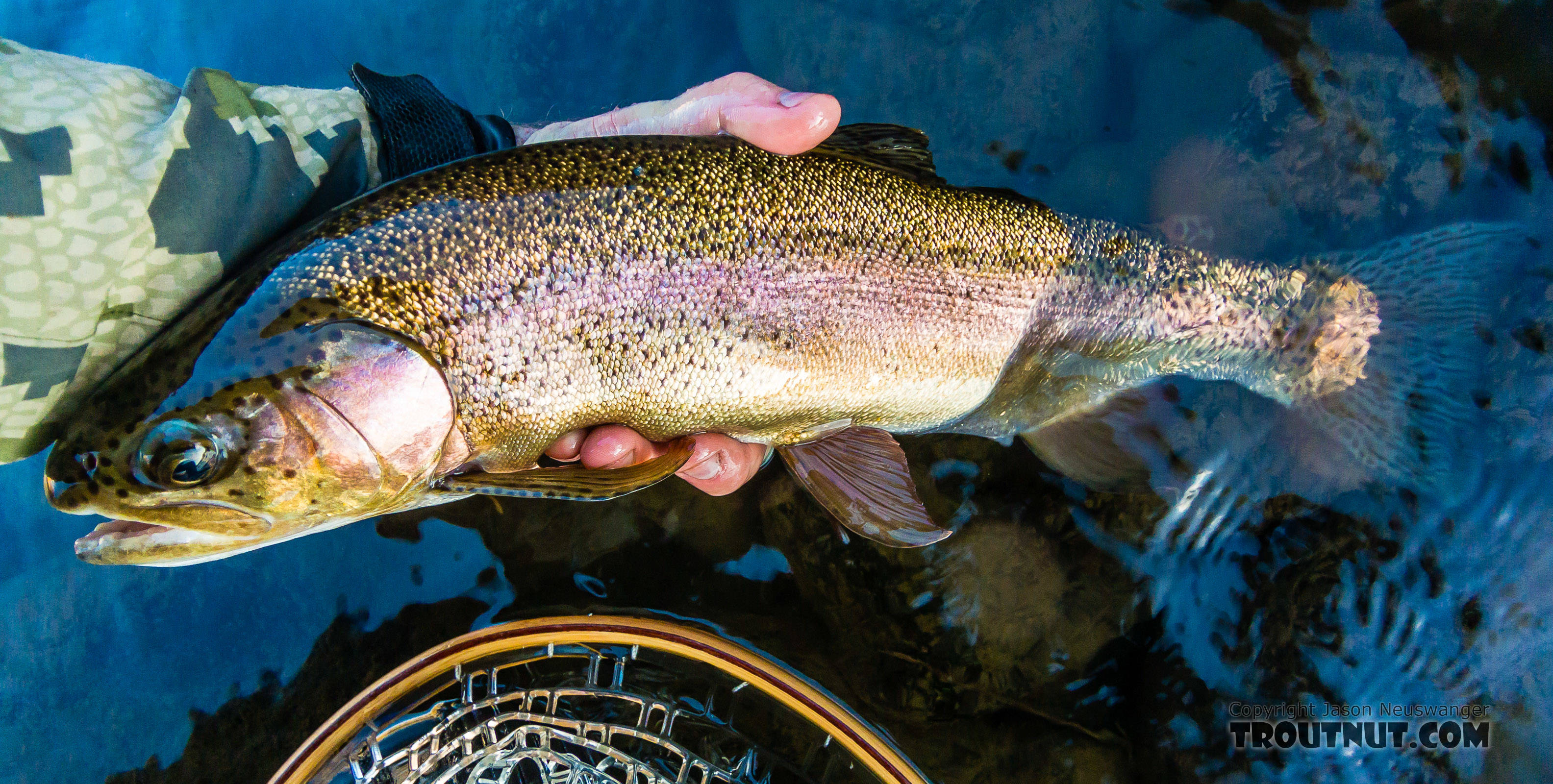 "20"" rainbow caught swinging a sculpzilla through a deep riffle From the Yakima River in Washington."