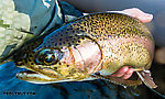 Closeup of the 20-incher From the Yakima River in Washington.
