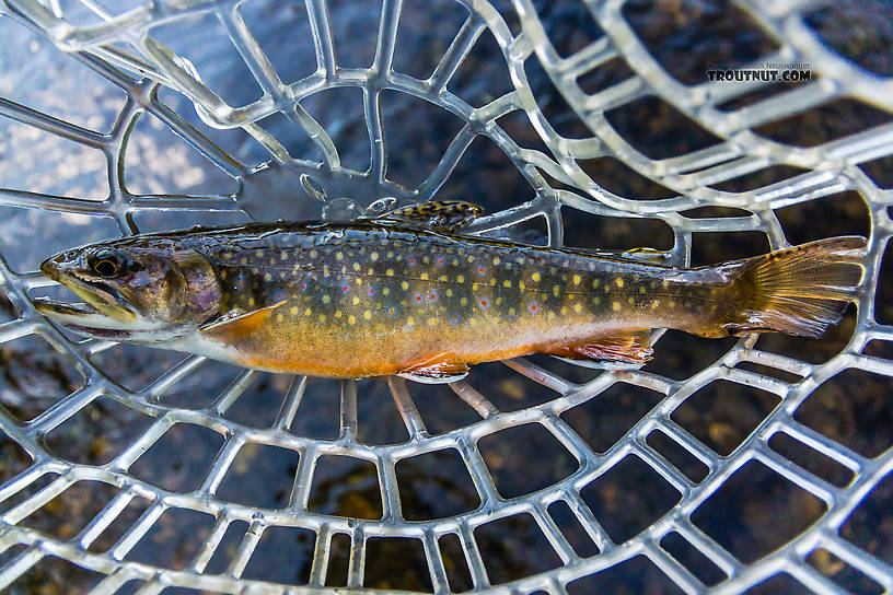 One of two nonnative Brook Trout I caught in this stream that held mostly Westslope Cutthroat. From the South Fork Manastash Creek in Washington.