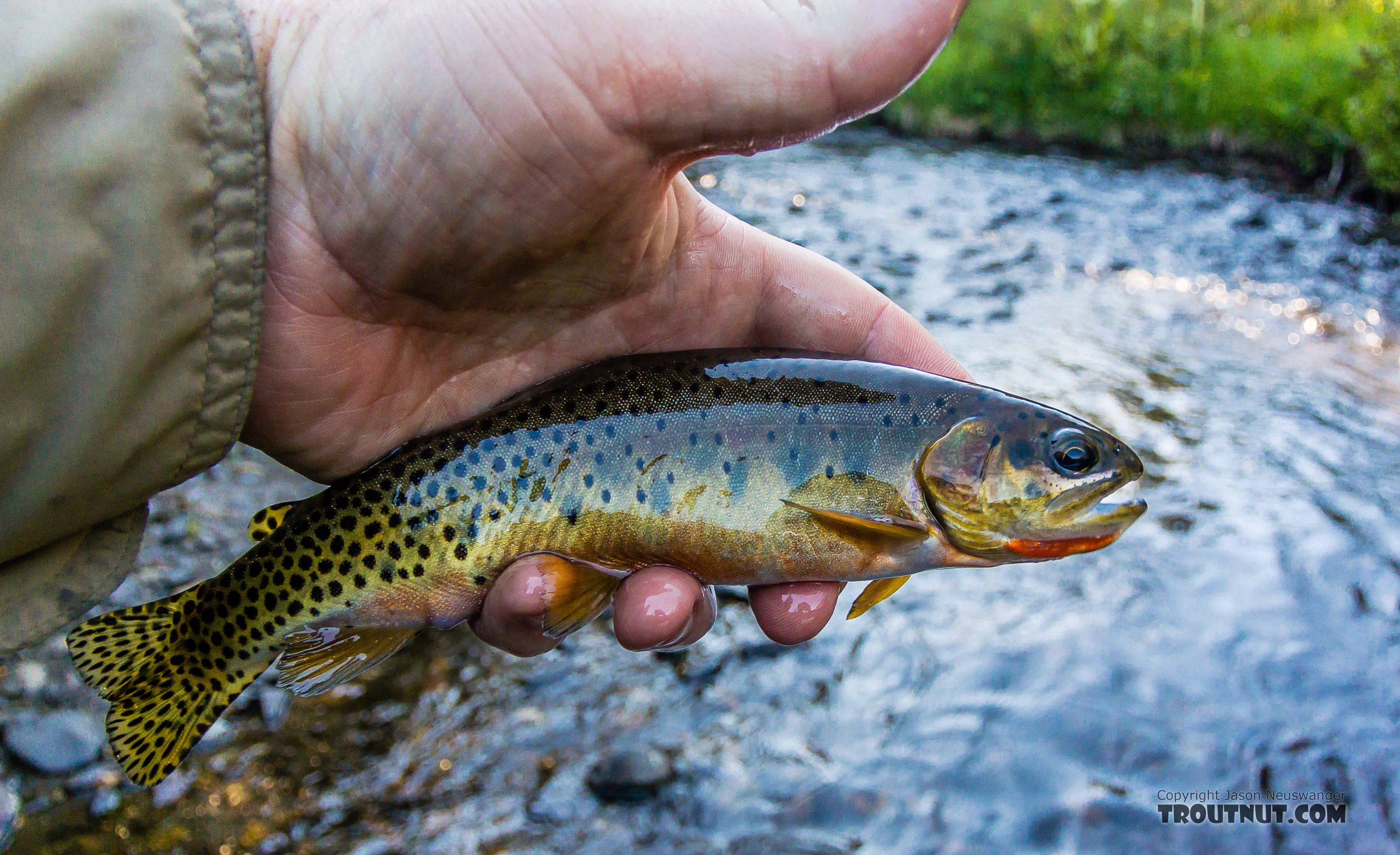 Pretty Westslope Cutthroat From the South Fork Manastash Creek in Washington.