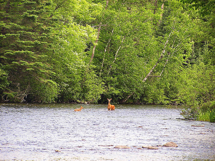 A whitetail fawn struggles through strong current to return to its mother.  It lost its footing a couple times, and I thought for a moment it was going to wash down to me. From the Namekagon River in Wisconsin.
