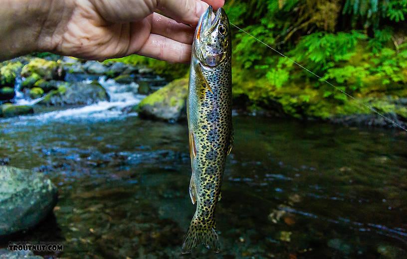 Pretty little Crescenti Cutthroat x Beardslee Rainbow cutbow. From Barnes Creek in Washington.