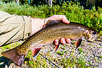 """14 1/2"""" brook trout -- my 2nd biggest ever. From the Mystery Creek # 217 in Wyoming."""