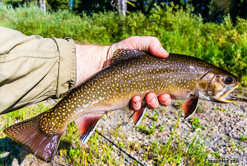 "14 1/2"" brook trout -- my 2nd biggest ever. From the Mystery Creek # 217 in Wyoming."