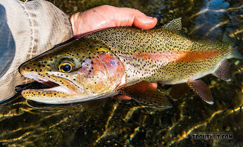 Nice rainbow with just a bit of cutthroat blood in the mix From Mystery Creek # 218 in Wyoming.