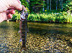 This little brook trout was the picture of ambition. From Mystery Creek # 218 in Wyoming.