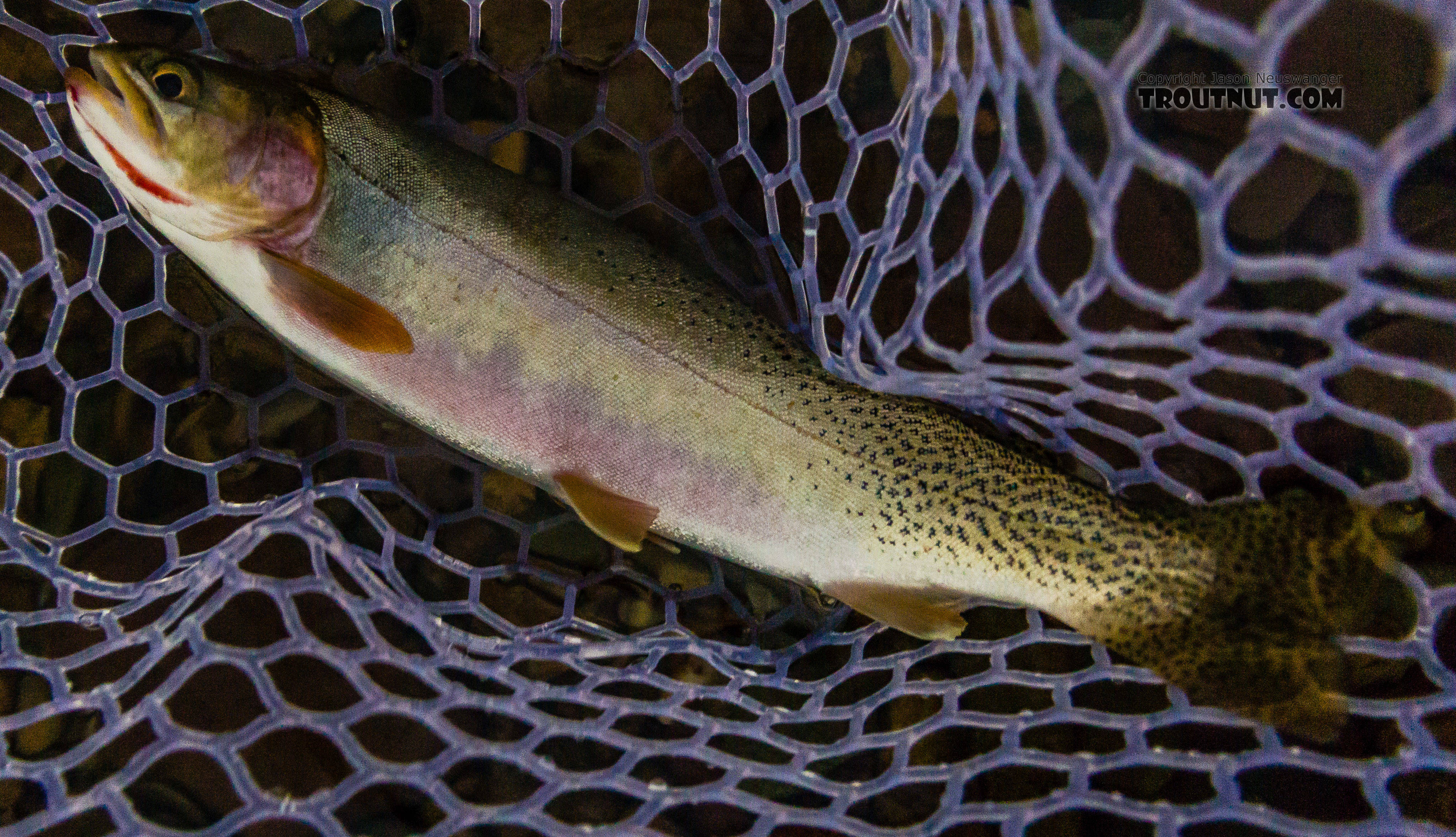 This 14-incher was, at the time, my biggest cutthroat trout (until the next day). From the North Fork Couer d'Alene River in Idaho.