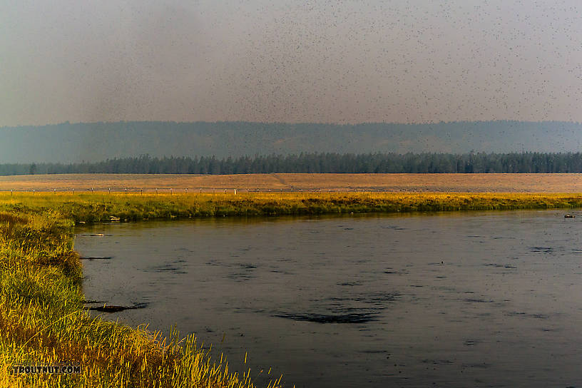 The sky darkened along the banks of the Henry's Fork by clouds of morning Trico spinners. From the Henry's Fork of the Snake River in Idaho.