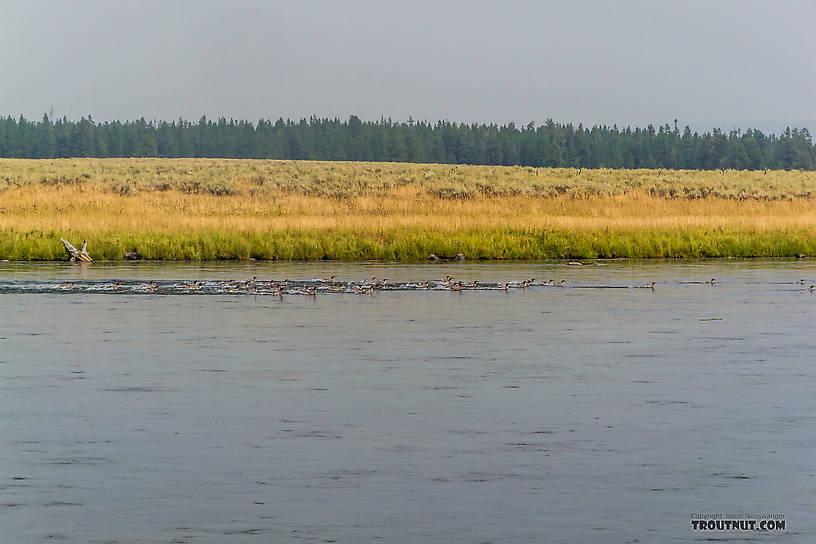 Huge raft of mergansers cruising the Henry's Fork. From the Henry's Fork of the Snake River in Idaho.