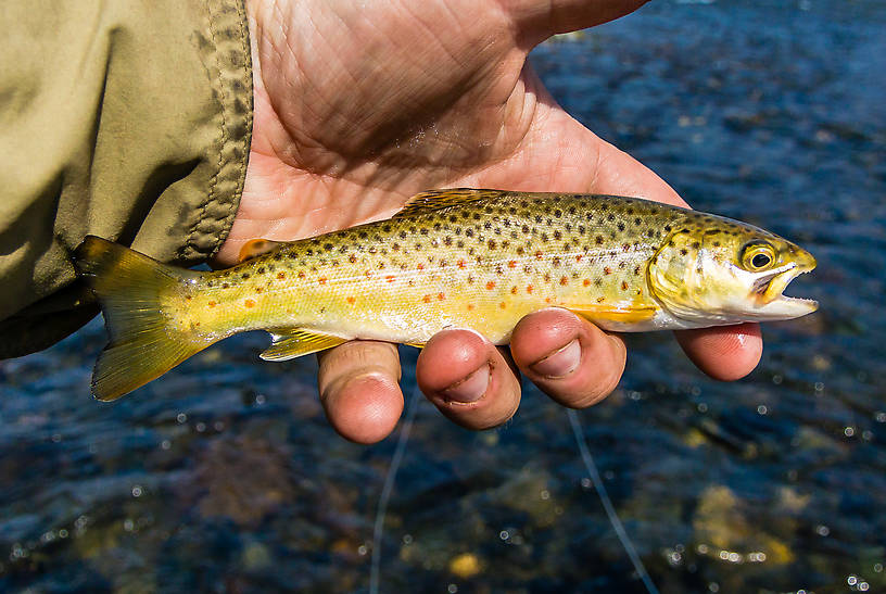 This little brown saved me from officially skunking on my first trip to the Madison, which saw several larger fish swipe at streamers or big dry flies but no hookups in the midday sun. From the Madison River in Montana.