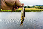 The fish I encountered in this creek were smaller than those in some other Montana waters. From Duck Creek in Montana.