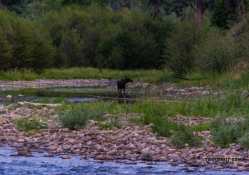 This cow moose watched me from a slough upstream while I fished a good pool on Rock Creek. From Rock Creek in Montana.