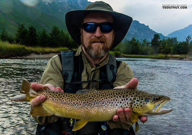 18.5 inch brown From Mystery Creek # 227 in Montana.