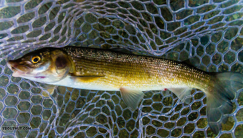 Mountain whitefish From Mystery Creek # 227 in Montana.
