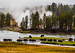 Bison crossing the Yellowstone River From the Yellowstone River in Wyoming.