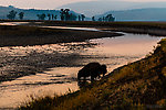 Bison crossing the Lamar River in Yellowstone From the Lamar River in Wyoming.
