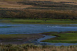 Swans in the Yellowstone River's Hayden Valley. From the Yellowstone River in Wyoming.
