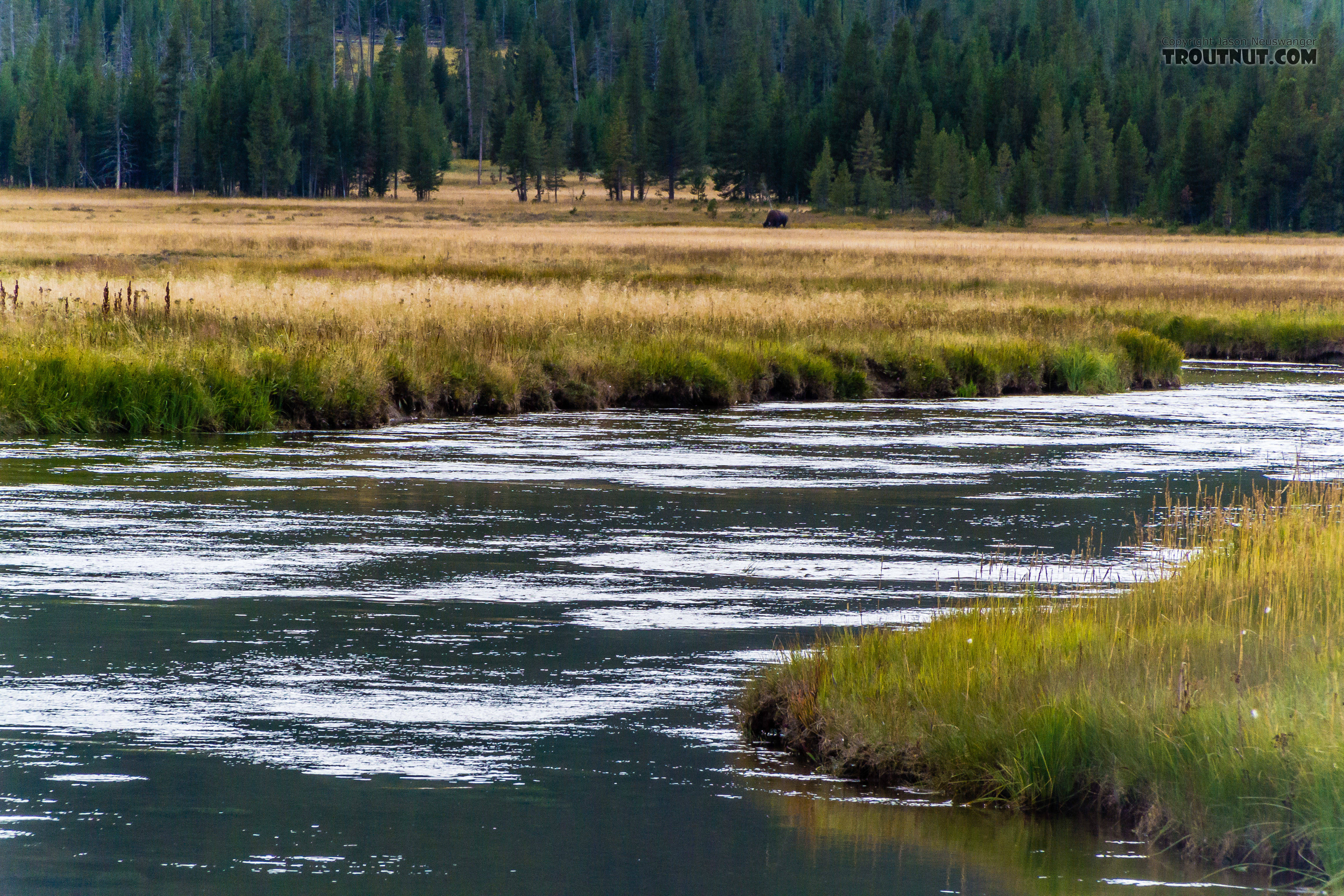 A lone bison feeds in the background across a meadow reach of the Gibbon River. From the Gibbon River in Wyoming.
