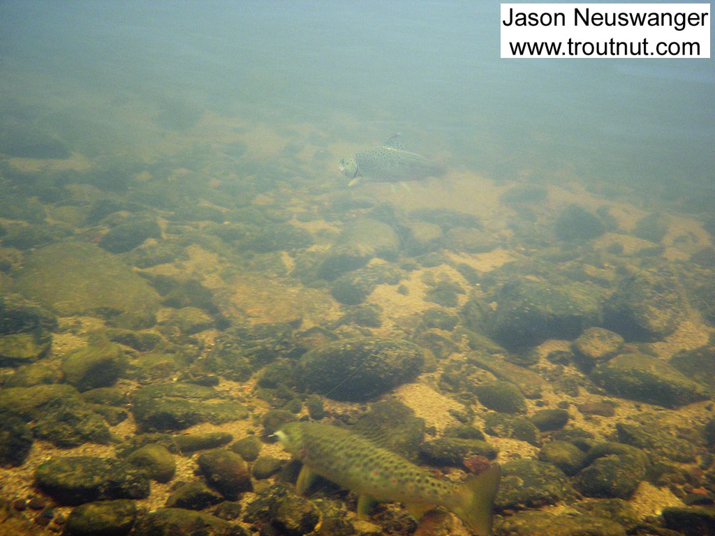 """When the lead 9"""" brown grabbed one of my three wet flies and started zooming around his buddy couldn't resist grabbing one of the others. This is an underwater picture of the two of them together on the line. From the Namekagon River in Wisconsin."""
