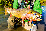 My nicest Cutthroat Trout yet, a beautiful 18-incher. I'll remember this fish forever. From Mystery Creek # 237 in Montana.