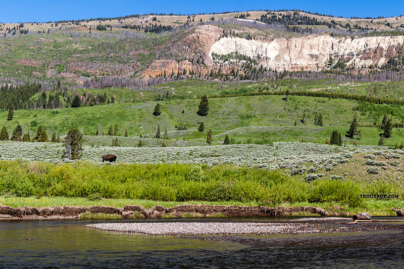 Bison across Slough Creek From Slough Creek in Wyoming.