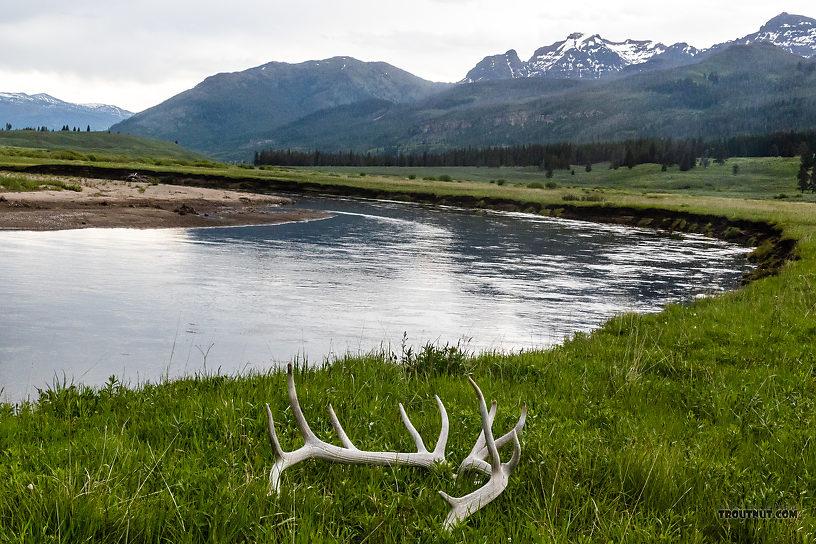 Natural elk skull alongside Slough Creek From Slough Creek in Wyoming.