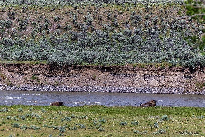 Two bison cooling off in the Lamar River From the Lamar River in Wyoming.