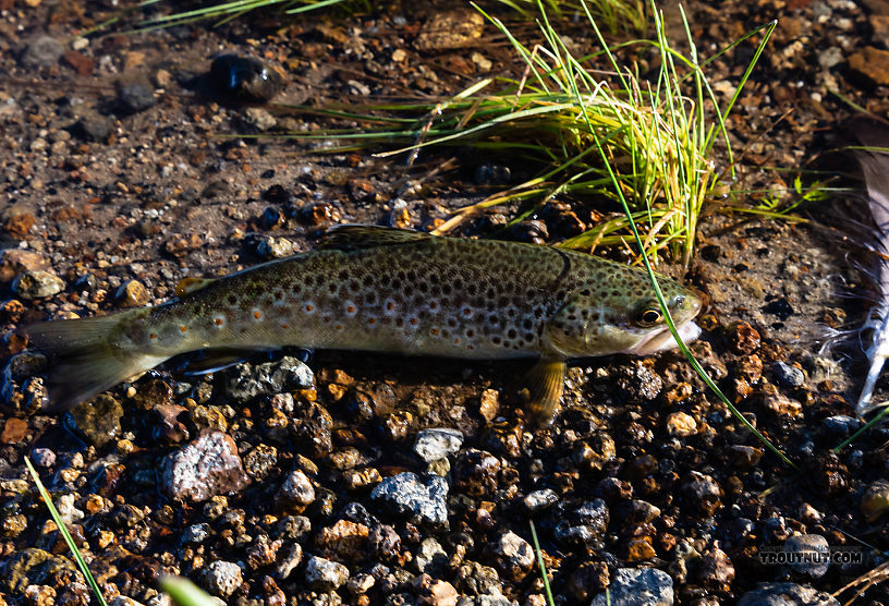This little brown trout was released in the shallows but really wanted a picture so it jumped back onto dry land and posed like this. Then I insisted it go back in the water. From the Gibbon River in Wyoming.