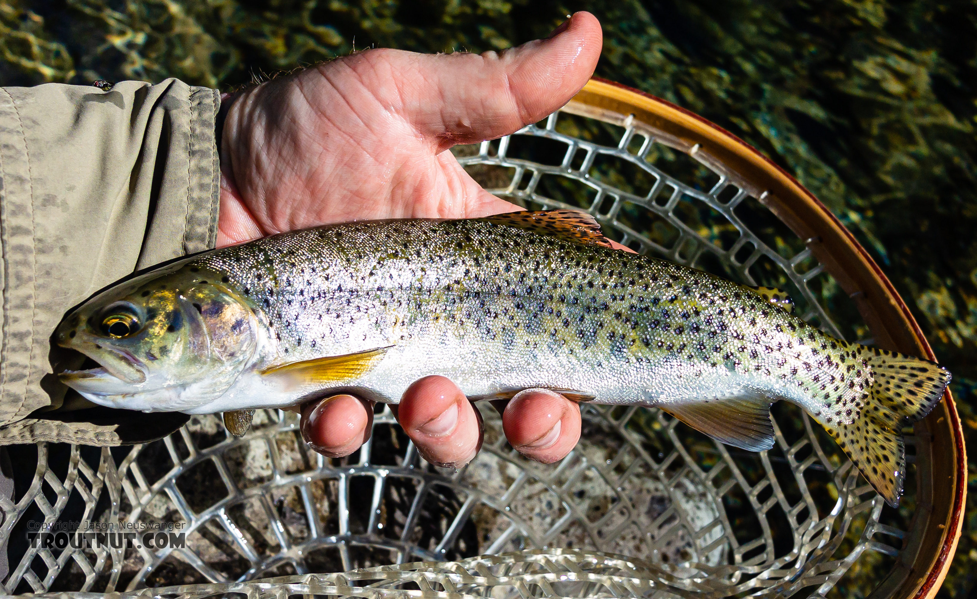 A pretty decent rainbow for a creek this size. From Mystery Creek # 249 in Washington.