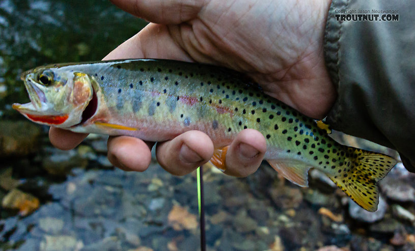 One of the last fish of the night, a bit blurry, but with too pretty a throat to pass up. From Mystery Creek # 249 in Washington.