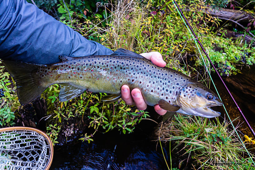 """Feisty 17"""" brown From the Namekagon River in Wisconsin."""