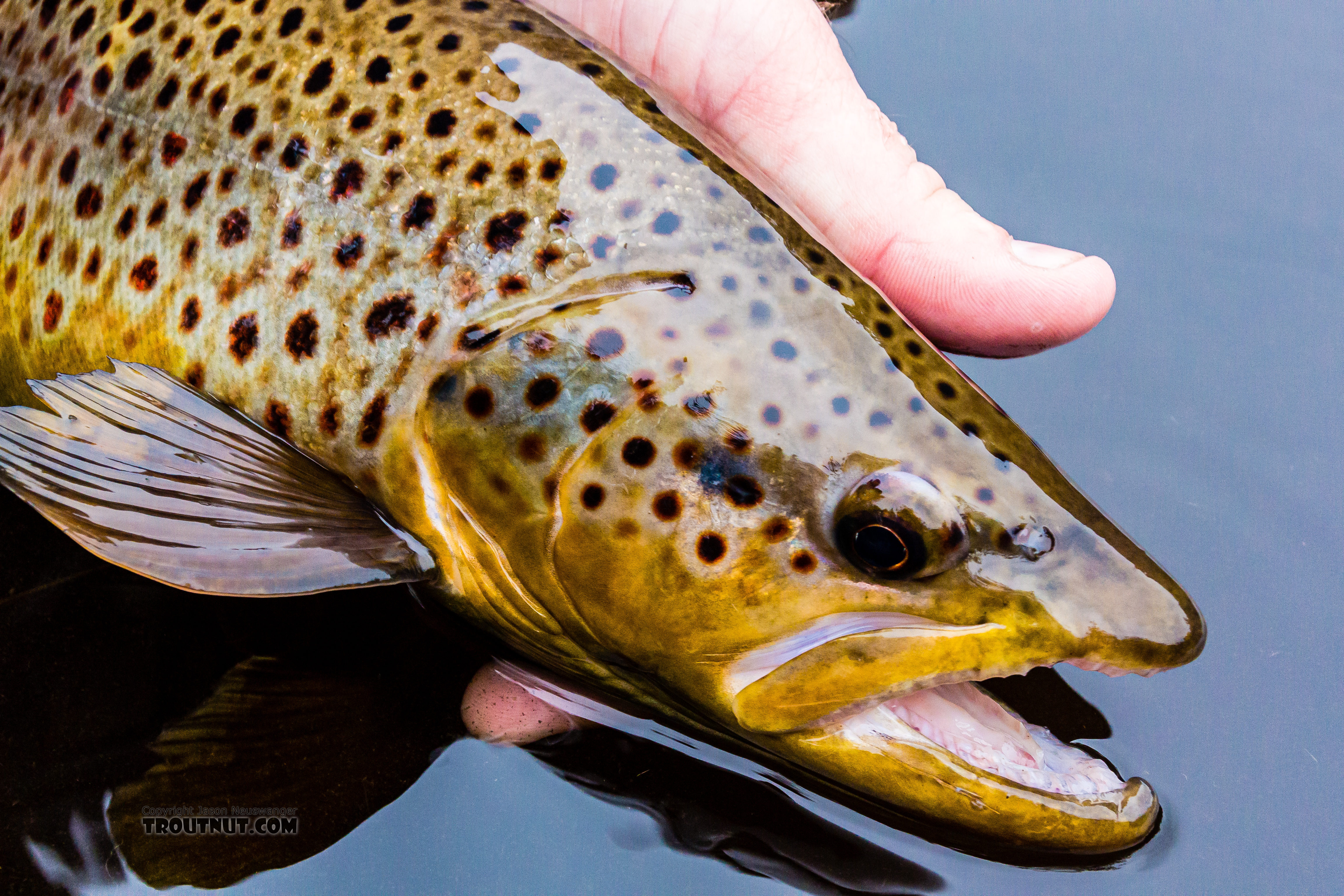 """Beautiful almost 19"""" brown. From the Namekagon River in Wisconsin."""