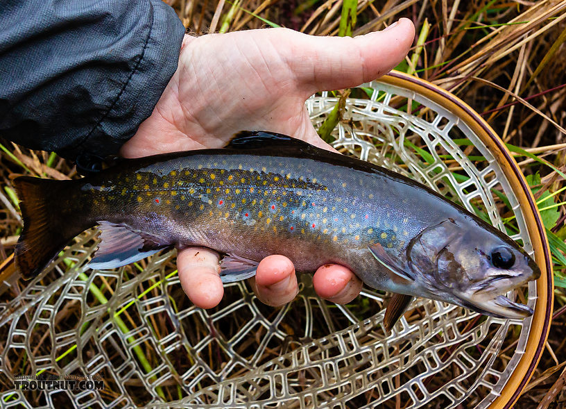 First brookie from Venison Creek From Mystery Creek # 56 in Wisconsin.