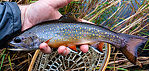 Nice male brookie From Mystery Creek # 56 in Wisconsin.