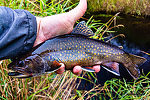 Chunky male brook trout and the best fish of the day From Mystery Creek # 56 in Wisconsin.