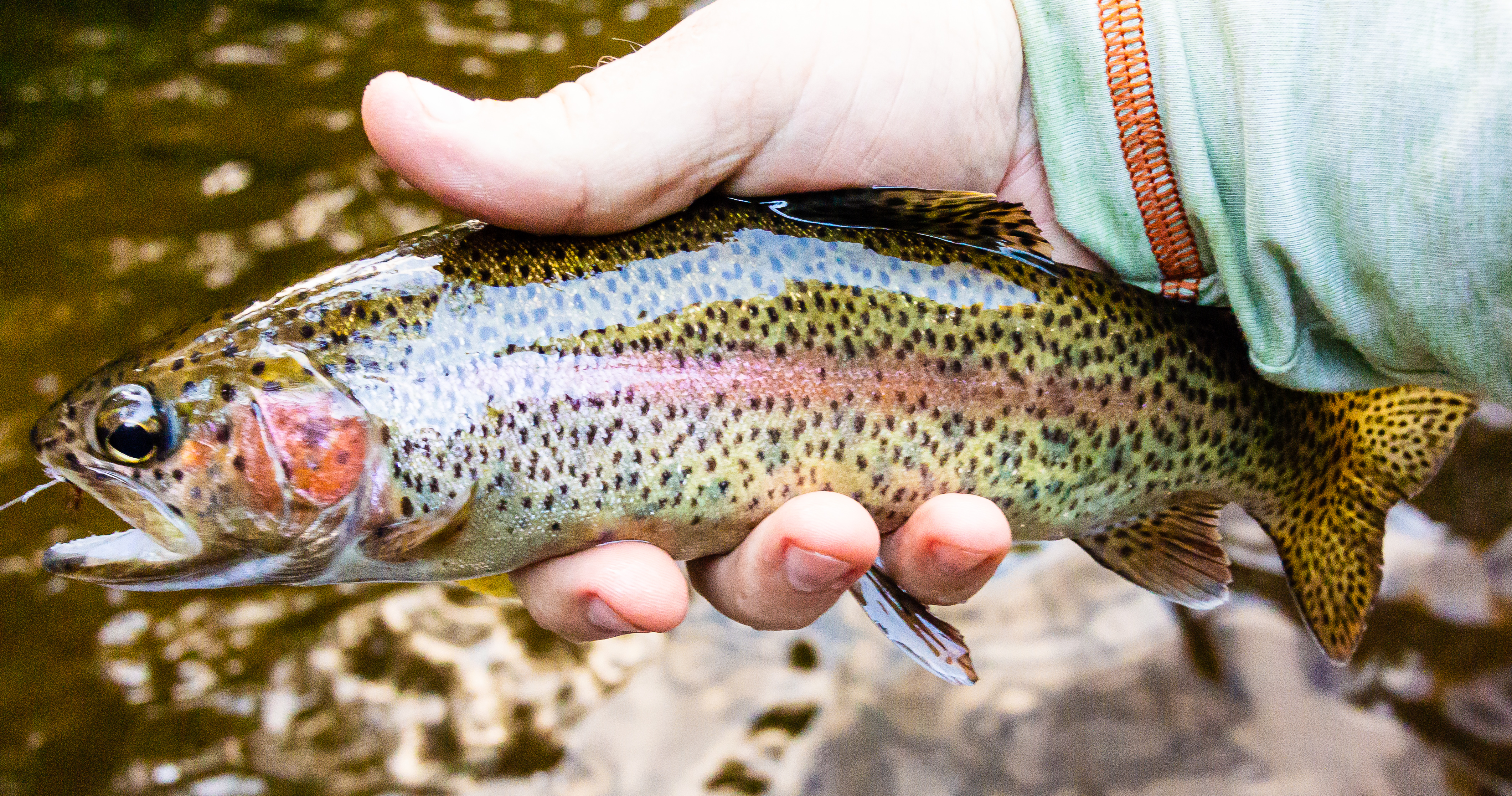 Brule rainbow From the Bois Brule River in Wisconsin.