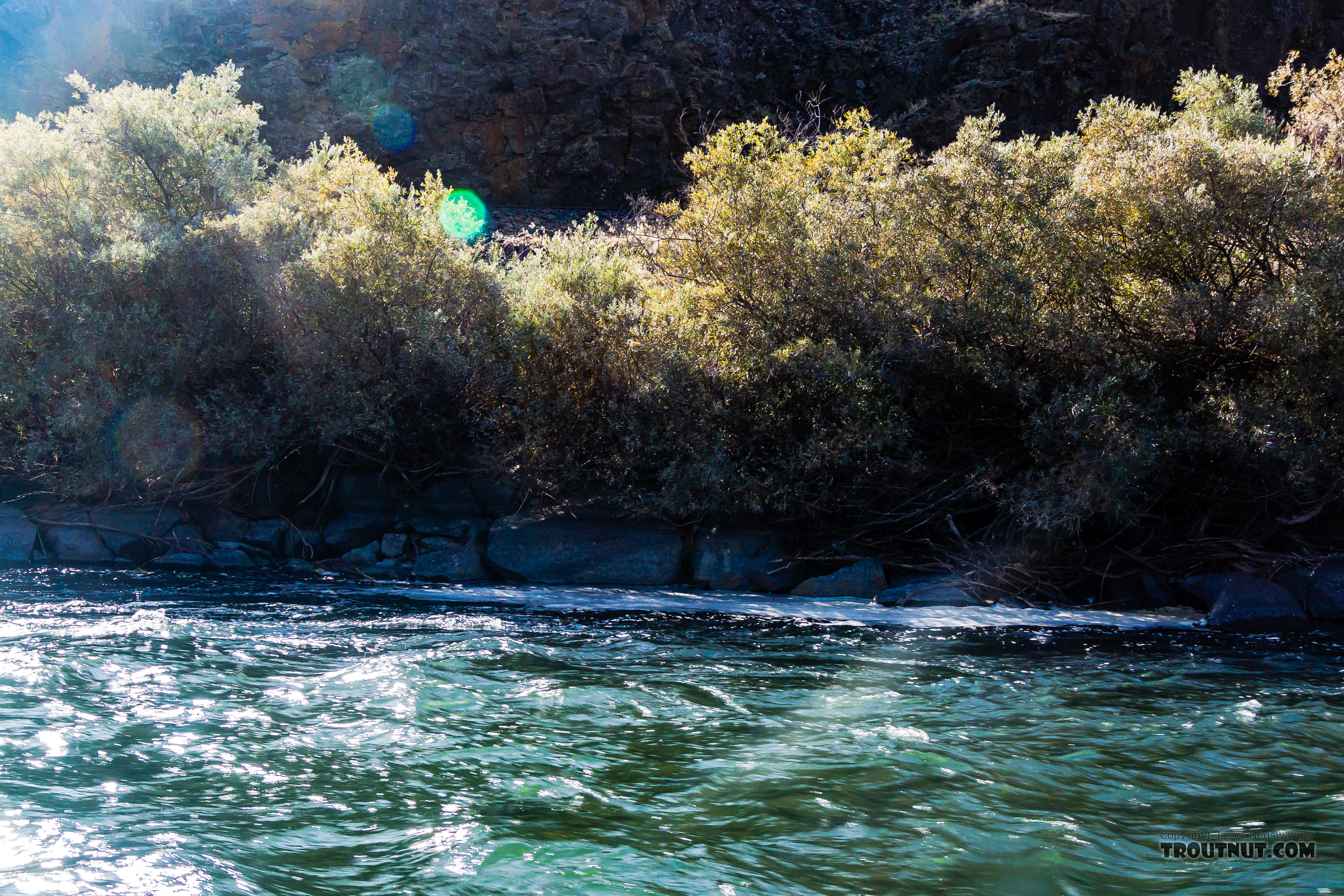 When we finally found some rising fish, they were in an almost-unapproachable foamy eddy on the far side of some fast, deep, unwadeable water that would yank on my fly soon after it hit the water. It took lots of tries with trick casts to catch a few rainbows here. From the Yakima River in Washington.